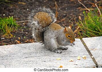 écureuil, parc, central, ny