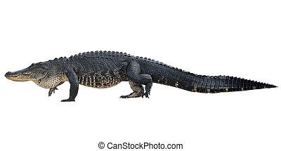 alligator, américain, grand