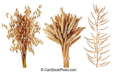 arrière-plan., usines, blé, isolé, avoine, blanc, céréales, canola, mûre