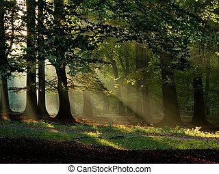 automne, soleil, chaud, brouillard, automne, hêtre, forêt