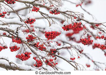 baies, couvert, rowan, arbre, neige, rouges
