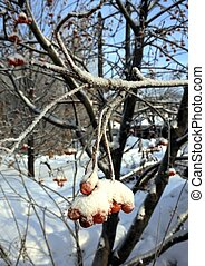 baies, snow., rowan, branche, frais, couvert