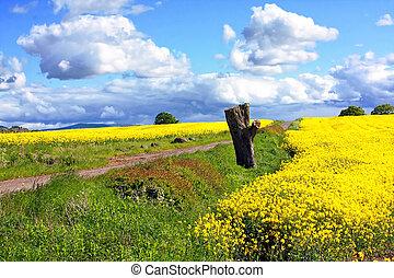 beau, champs, colza, printemps