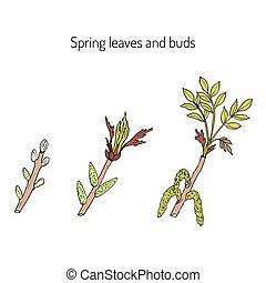 bourgeons, printemps, feuilles, branches