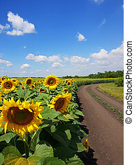 champs, marges, russie, tournesol, route