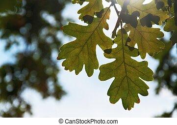 clair, feuilles chêne