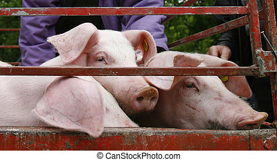 conjugal, porc, agriculture, animal, cochon