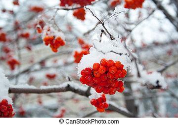couvert, rowan, neige