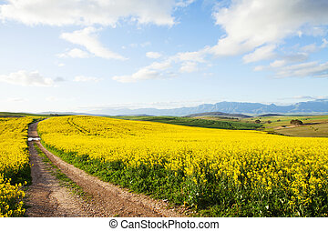 fleur, canola, terre, ferme, champs, jaune, entre, route