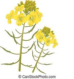 fleur, moutarde, arrière-plan., vecteur, blanc, illustration.