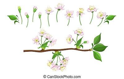 fleur rose, branches, pomme, processus, cerise, étapes, arbre, illustration, fleur, ensemble, vecteur, fleurir, fleurir, ou