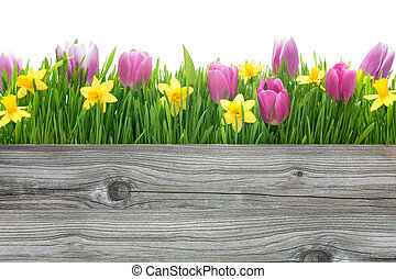fleurs ressort, jonquilles, tulipes