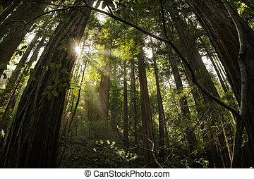forêt séquoia
