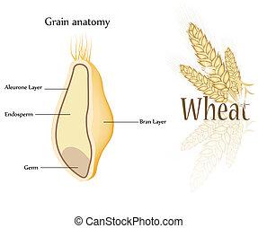 grain blé