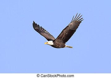 (haliaeetus, aigle, chauve, adulte, leucocephalus)