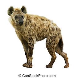 hyène, tacheté