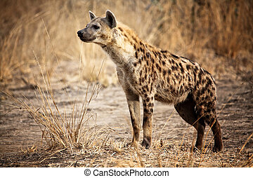 hyène tachetée