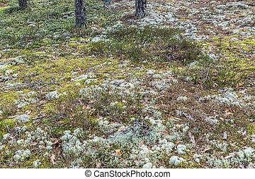 islande, lichen, mousse