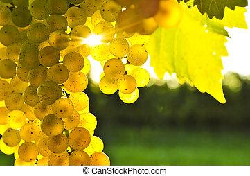 jaune, raisins