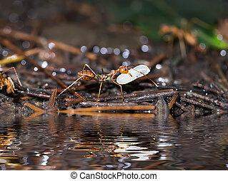 larve, macro, nature., déplacer haut, fourmi, fin, rouges, terrestre