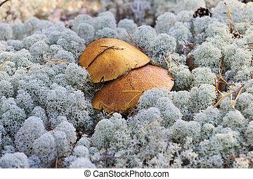 lichen, champignons, croissant