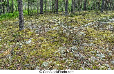 lichen, islande, île, cetraria, mousse