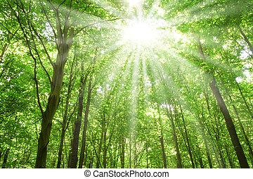 lumière soleil, forêt, arbres