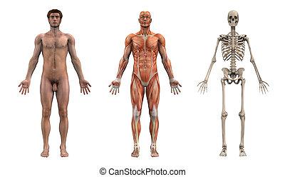 mâle, anatomique, overlays, -, adulte