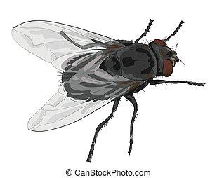 mouche, isolé, insecte, arrière-plan., blanc