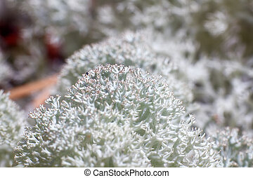 mousse, couverture, renne, lichens