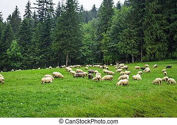 mouton, montagne, colline, troupeau