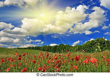 pavot, printemps, jour ensoleillé, field.