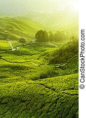 plantations thé