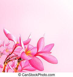 plumeria, fleurs, fleur, arrière-plan., rose