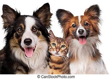 portrait, chat, papillion, colley, frontière, chien