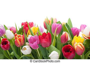 printemps, tulipes