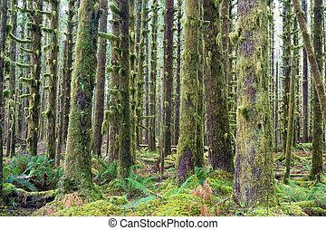 profond, arbres, cèdre, croissance, vert, hoh, mousse, rainforest, couvert, forêt