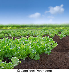 salade verte, organique, jardin