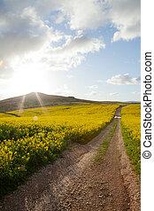 tard, champs, lumière soleil, canola, après-midi