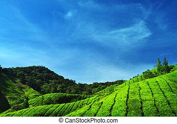 thé, plantations.