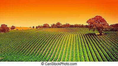 vignoble, collines, levers de soleil
