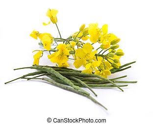 vulgaris, colza, fleurir, -, barbarea